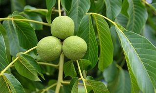 treatment of varicose veins with green walnuts